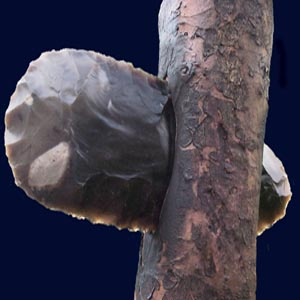 Close up of a hafted, flaked flint axe
